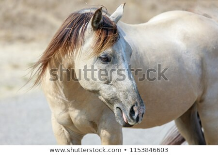 White horse with blonde brown mane close-up in Horse Hill Preserve. Stock photo © yhelfman