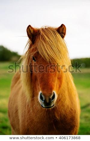 Portrait of an Icelandic horse Stock photo © Kotenko