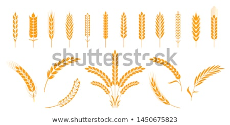 A Barley Illustration Stock photo © lenm
