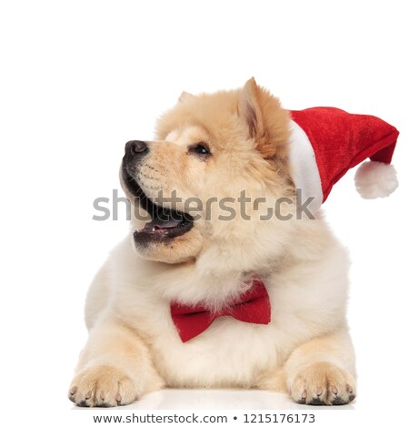surprised chow chow wearing santa hat looks to side Stock photo © feedough