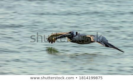 Pelican in nature island Stock photo © bluering