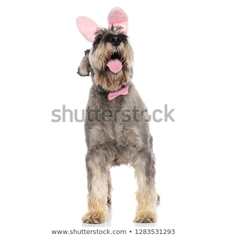 bunny schnauzer wearing pink bowtie pants and looks up Stock photo © feedough