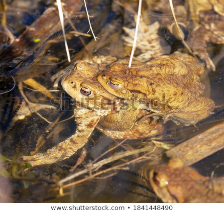 common brown toad in mating season Stock photo © taviphoto