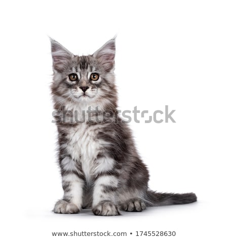cute brown tabby with white maine coon kitten sitting facing camera looking at lens with brown eyes stock photo © catchyimages