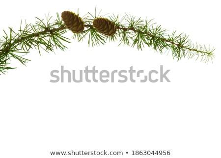 コーン 詳細 新鮮な 赤 針 森林 ストックフォト © fyletto