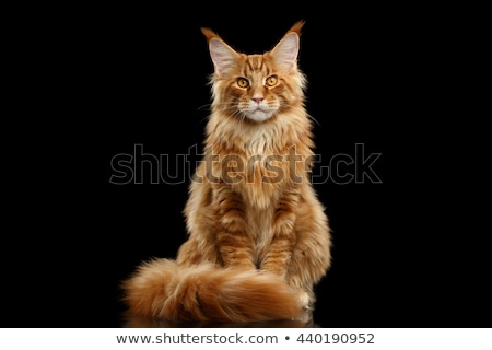 black with white maine coon cat kitten isolated on white background stock photo © catchyimages