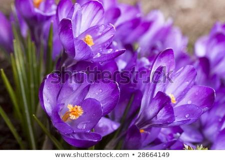 Primavera roxo açafrão montanha prado Foto stock © taviphoto