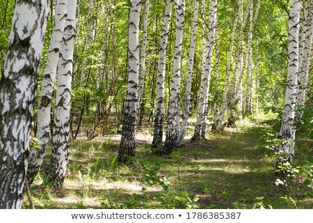 Russian landscape with birch Stock photo © fanfo