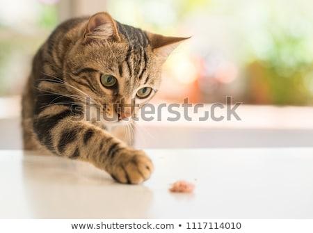 Portrait of a cat Stock photo © chrisroll