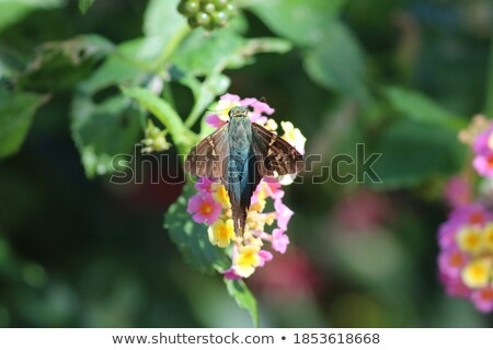 Long Tailed Skipper Butterfly on a Leaf Stock photo © rhamm