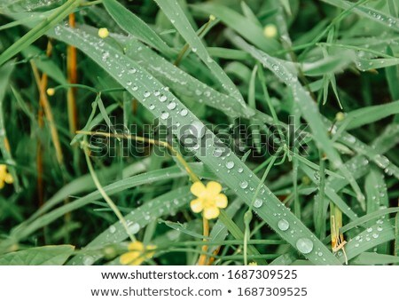structured grass with dew in morning light Stock photo © meinzahn