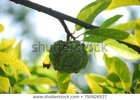 Single noni fruit hang on the tree  Stock photo © nalinratphi
