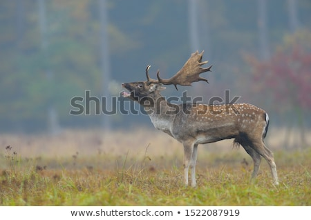 belling fallow deer in nature Stock photo © compuinfoto
