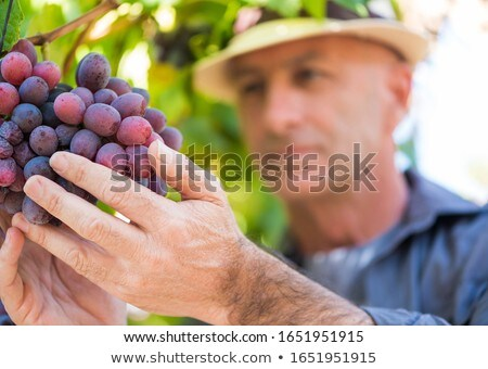 A grape grower Stock photo © photography33