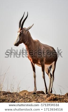 veszélyeztetett · Dél-Afrika · fű · természet · állat · afrikai - stock fotó © forgiss