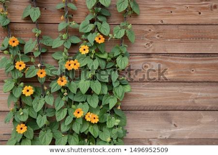 Zwarte geïsoleerd bloem voorjaar achtergrond plant Stockfoto © haraldmuc