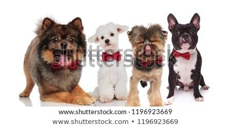 Солнцезащитные · очки · сидят · собаки · Cute · белый - Сток-фото © feedough