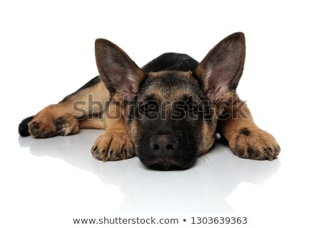 cute german shepard lying with head down looks to side Stock photo © feedough