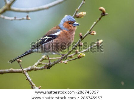 Close-up of a male Common Chaffinch (Fringilla coelebs) Stock photo © michaklootwijk