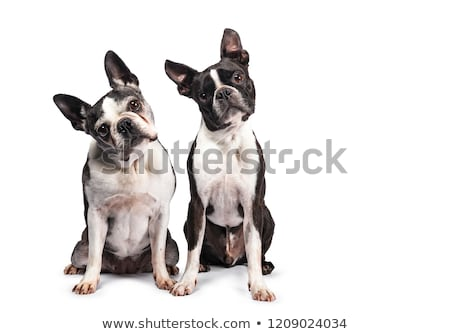 Stúdiófelvétel kettő imádnivaló Boston terrier áll Stock fotó © vauvau