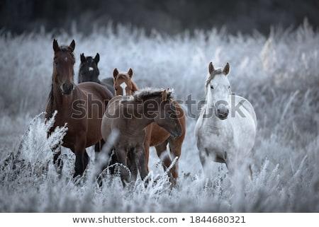 Horses in the farmland Stock photo © adrenalina