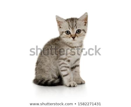 серый полосатый котенка изолированный кошки волос Сток-фото © taden