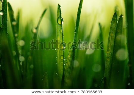 Young spring wheat grows in the field Stock photo © pixelman