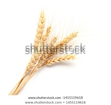 ears of wheat on white background stock photo © conceptcafe