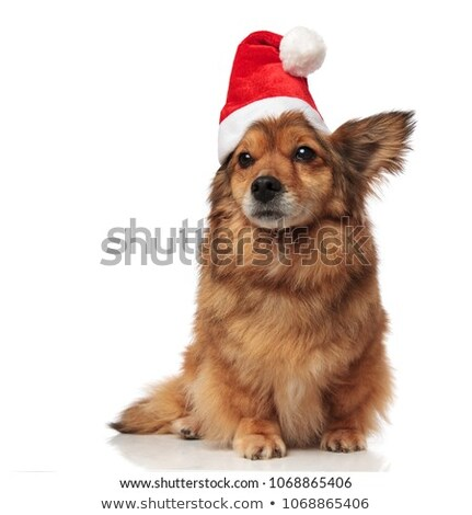 adorable brown metis dog with santa cap looks to side Stock photo © feedough