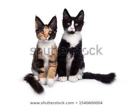 Stock photo: Tortie Maine Coon cat kitten on black