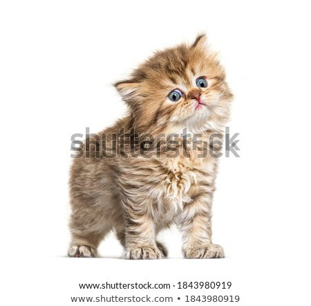 Amazing fluffy British Longhair cat kitten Stock photo © CatchyImages