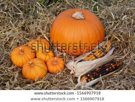 Five mini pumpkins and ornamental corn cobs with a pumpkin  Stock photo © sarahdoow