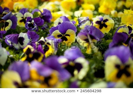 yellow pansies winter pansy flower stock photo © sherjaca