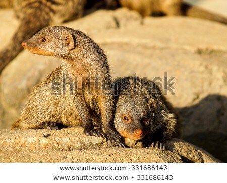 Banned Mongoose in the sun Stock photo © Klinker
