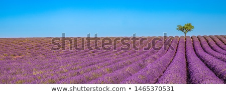 panoramic view of lavender field and cloudy sky stock photo © vwalakte
