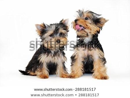 約克郡 梗 肖像 黑暗 工作室 狗 商業照片 © vauvau