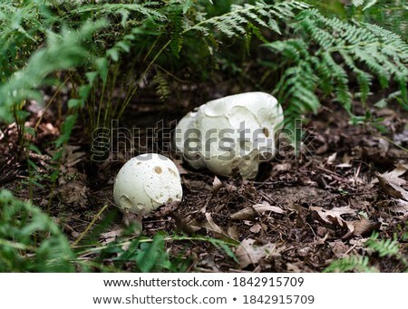 big white mushroom grows in ferns Stock photo © romvo