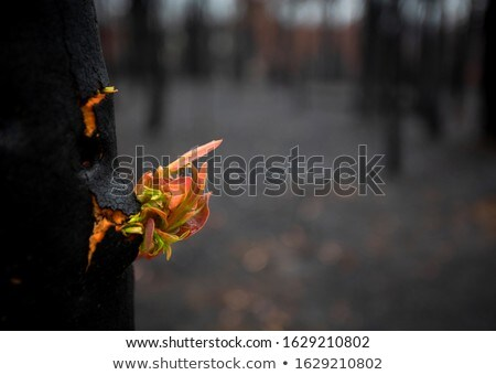 Trees literally break open bursting forth new growth Stock photo © lovleah
