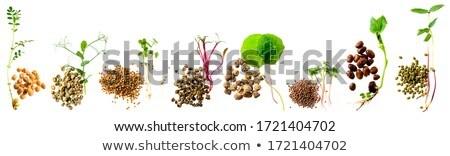 Alfafa alimentação saudável comida jovem planta Foto stock © furmanphoto