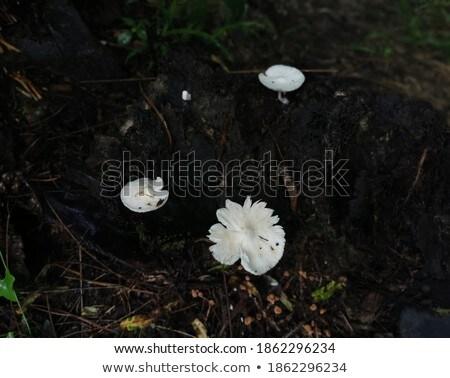 Paddestoel champignons mos tak schors hout Stockfoto © dolgachov