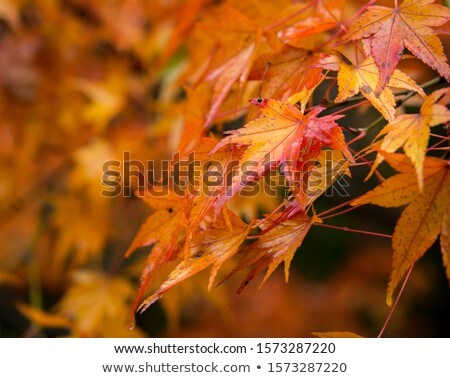 Late Autum Droplets on Japanese Maple  Stock photo © tab62