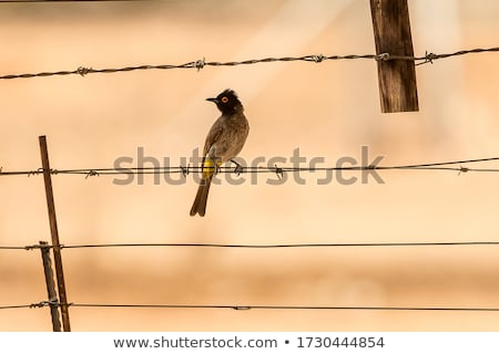Red-eyed Bulbul (Pycnonotus nigricans) Stock photo © dirkr