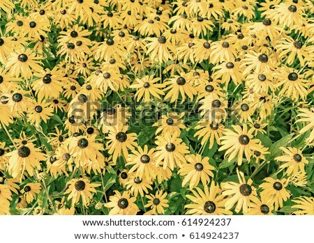 yellow cut leaved coneflower prospers in the bed Stock photo © meinzahn