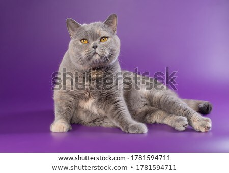 fat domestic cat in a photo studio stock photo © vauvau