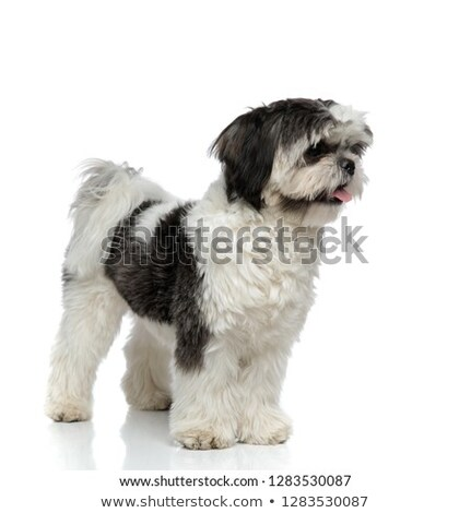 cute shih tzu pants and looks to side while standing Stock photo © feedough