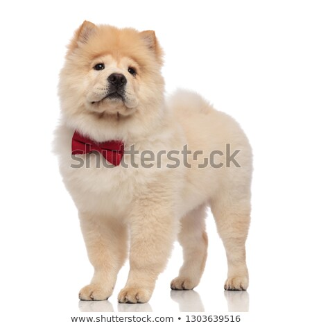 sad chow chow wearing elegant red bowtie looks to side Stock photo © feedough