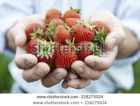 Senior Man On Allotment Holding Freshly Picked Strawberries Stock photo © HighwayStarz