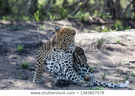 A Leopard licking himself in the Kruger. Stock photo © simoneeman