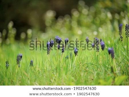 Eerste voorjaar zacht bloemen room violet Stockfoto © vavlt