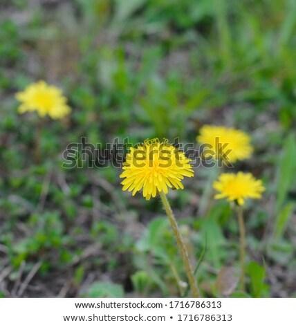 Dientes de león primavera granja campo hierba Foto stock © taden
